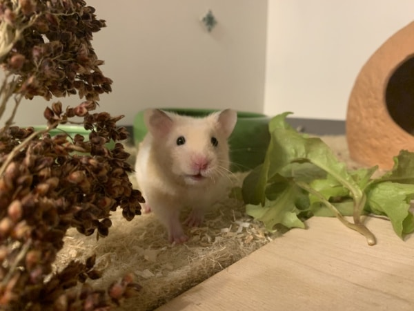 Hamsterhilfe Südwest Tiki
