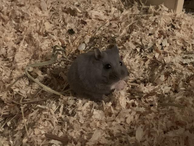 Hamsterhilfe Südwest Nell