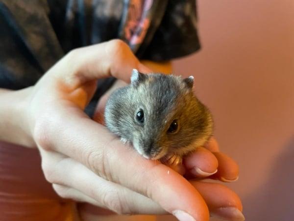 Hamsterhilfe Südwest Sumo