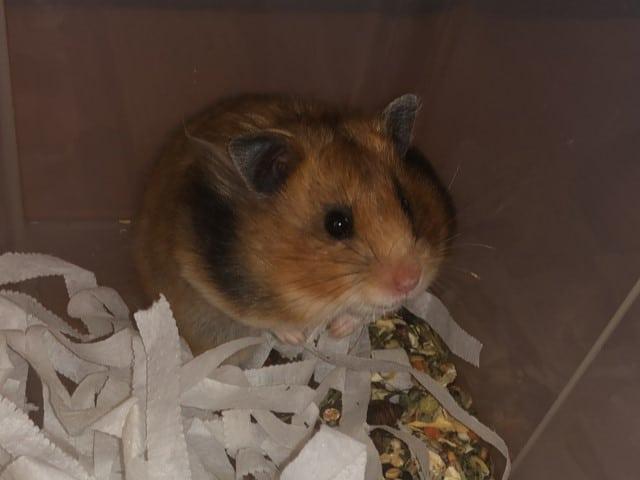 Hamsterhilfe Südwest Teddyhamster Suri
