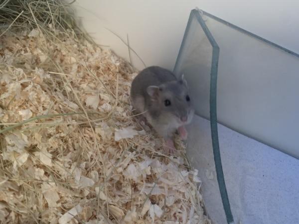 Hamsterhilfe Südwest Sylka