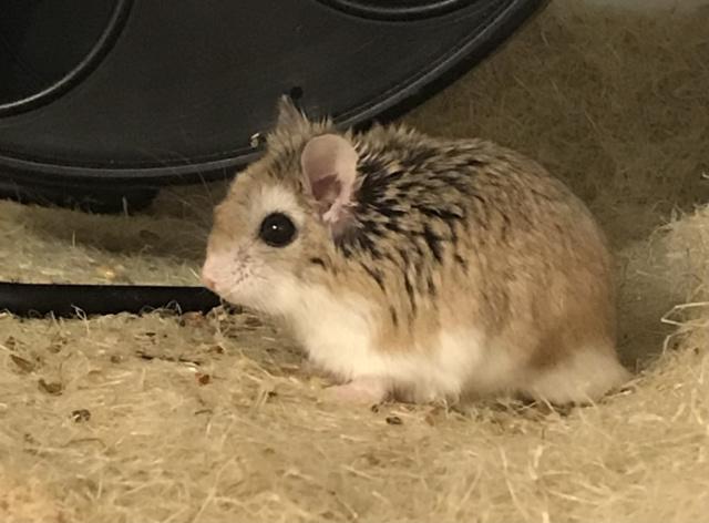 Hamsterhilfe Südwest Mulli
