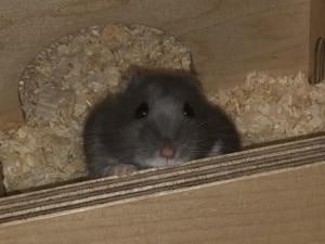 Hamsterhilfe Südwest Zwerghamster Sally