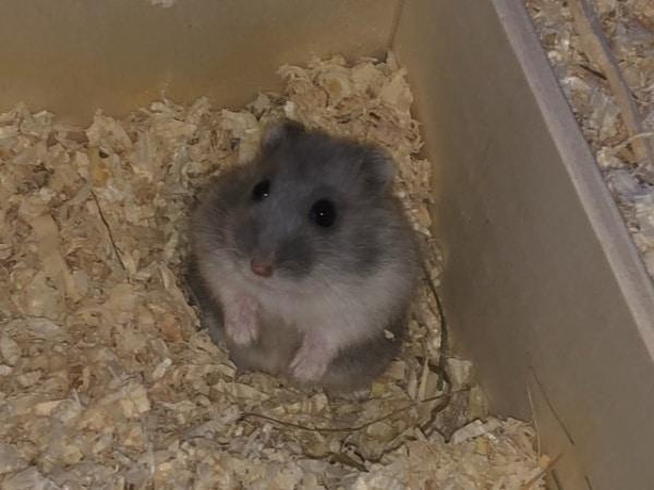 Hamsterhilfe Südwest Zwerghamster Sina