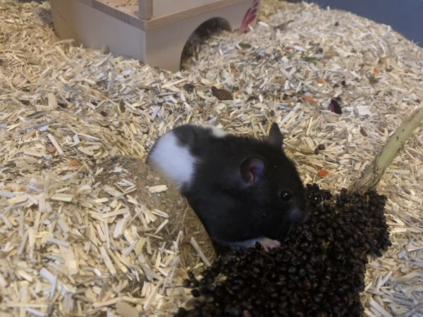 Hamsterhilfe Südwest Remo