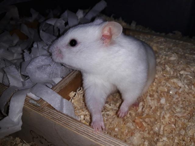 Hamsterhilfe Südwest Mademoiselle