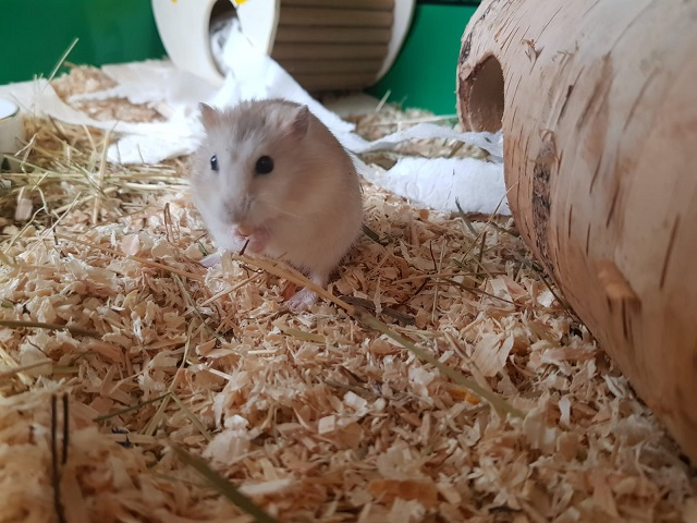 Hamsterhilfe Südwest Schacko