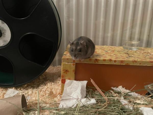 Hamsterhilfe Südwest Rieke