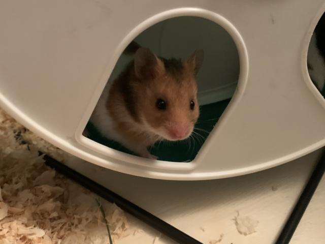 Hamsterhilfe Südwest Rose