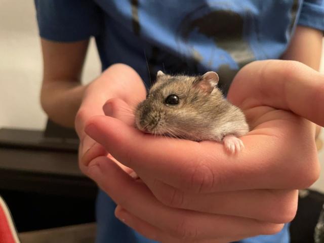 Hamsterhilfe Südwest Rachel