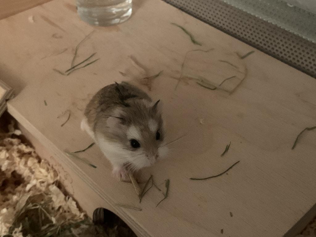 Hamsterhilfe Südwest Cindy Lou