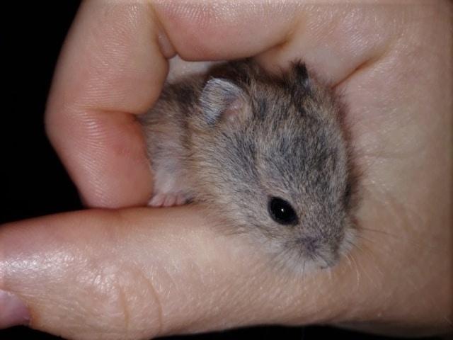 Campbell-Jungtier Hamsterhilfe Suedwest