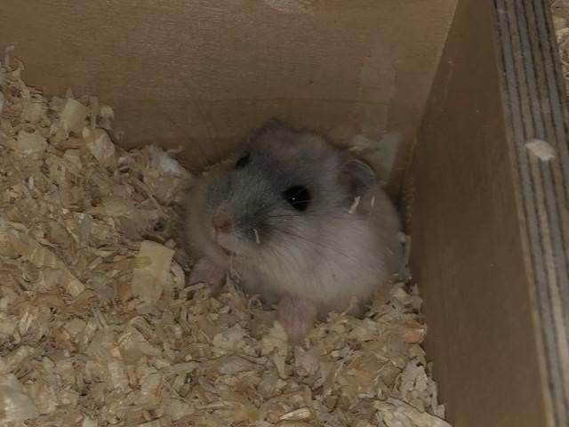 Bertha Hamsterhilfe Südwest Zwerghamster