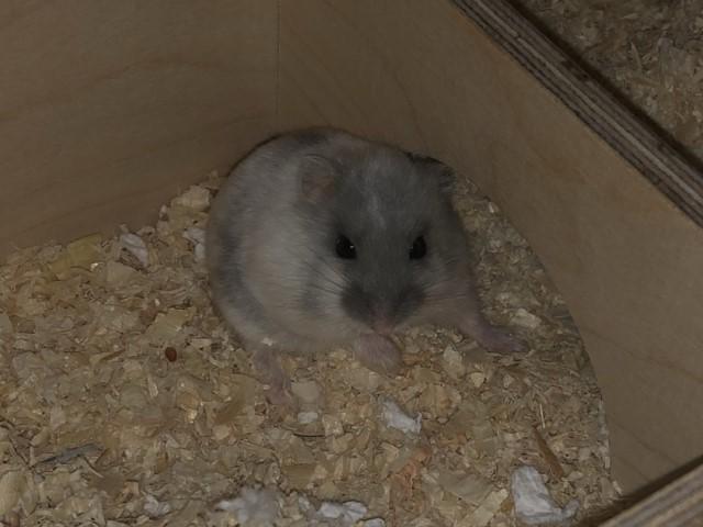Bonnie Hamsterhilfe Südwest Zwerghamster