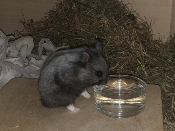 Olaf Hamsterhilfe Südwest Zwerghamster