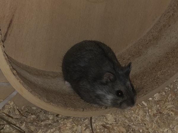 Odin Hamsterhilfe Südwest Zwerghamster