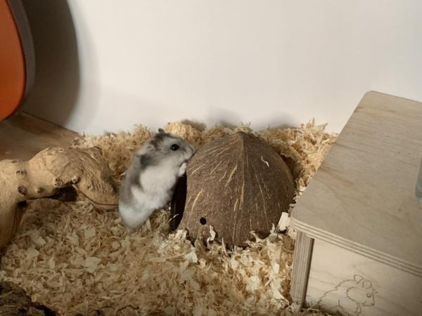 Hamsterhilfe Südwest Tonka