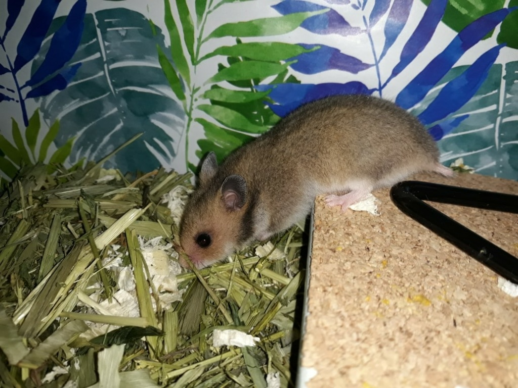 Hamsterhilfe Südwest Olanda