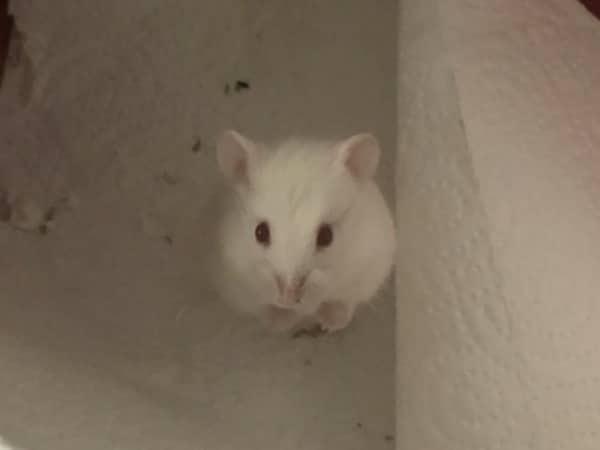 Schneeball Hamsterhilfe Südwest Zwerghamster
