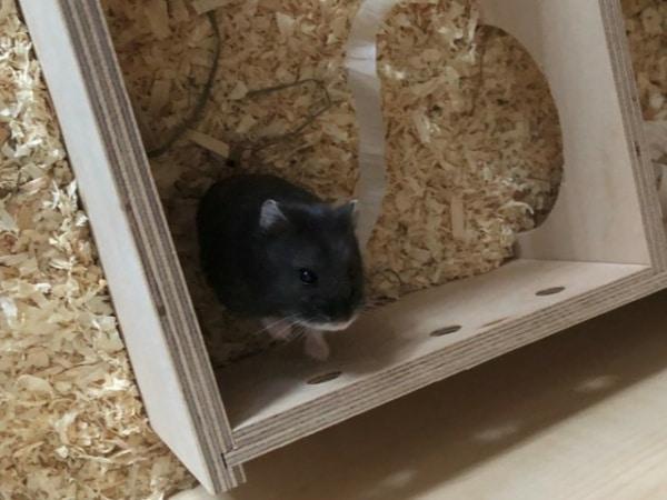Schneewittchen Hamsterhilfe Südwest Zwerghamster