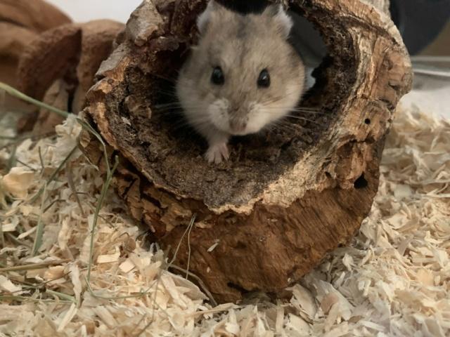 Hamsterhilfe Südwest Kimba