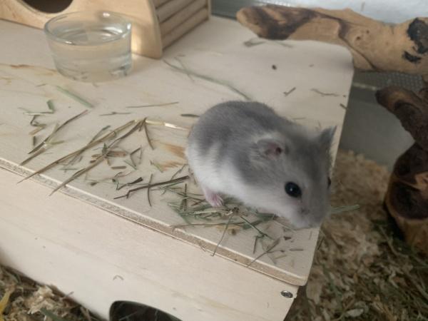 Hamsterhilfe Südwest Nuno