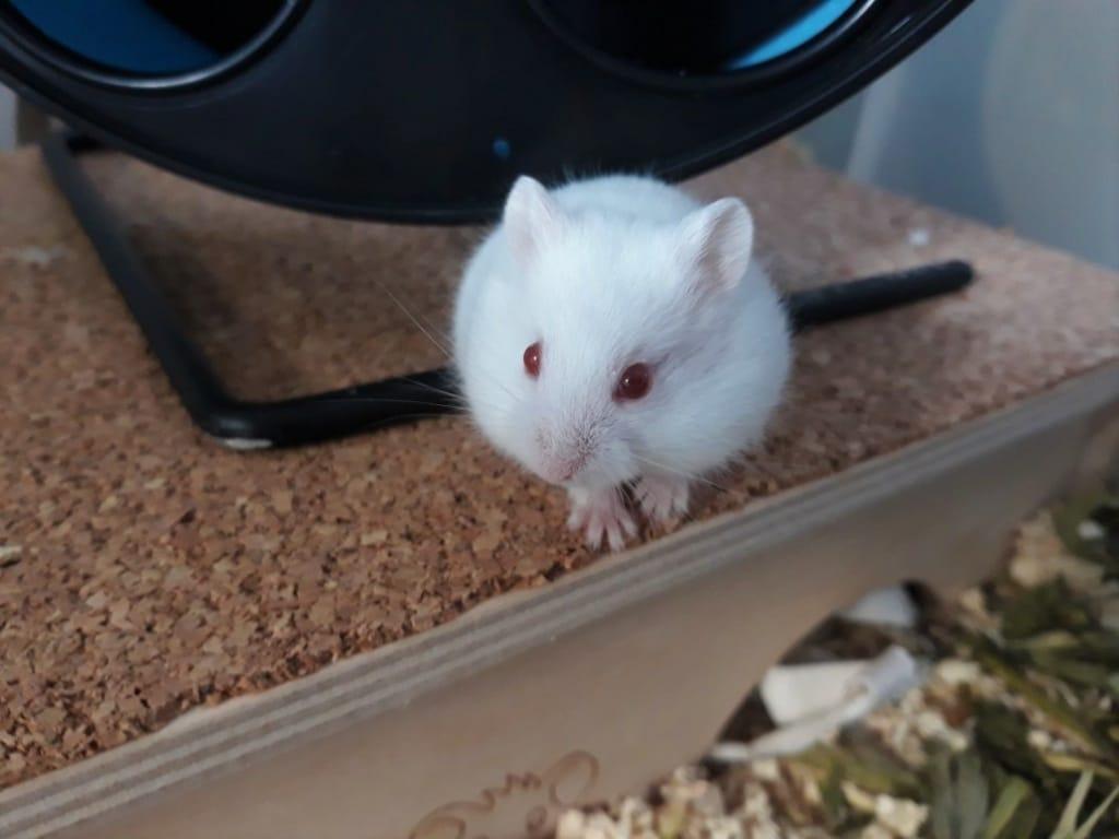 Hamsterhilfe Südwest Saburo