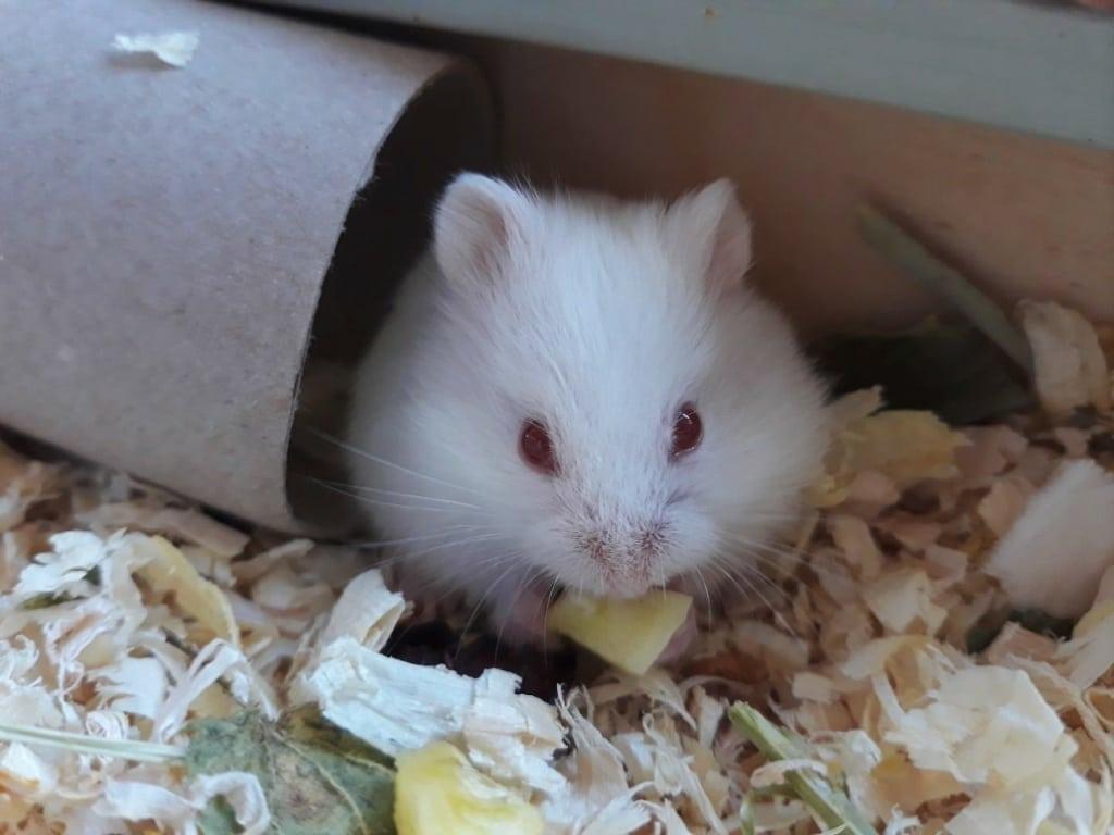 Hamsterhilfe Südwest Saimon