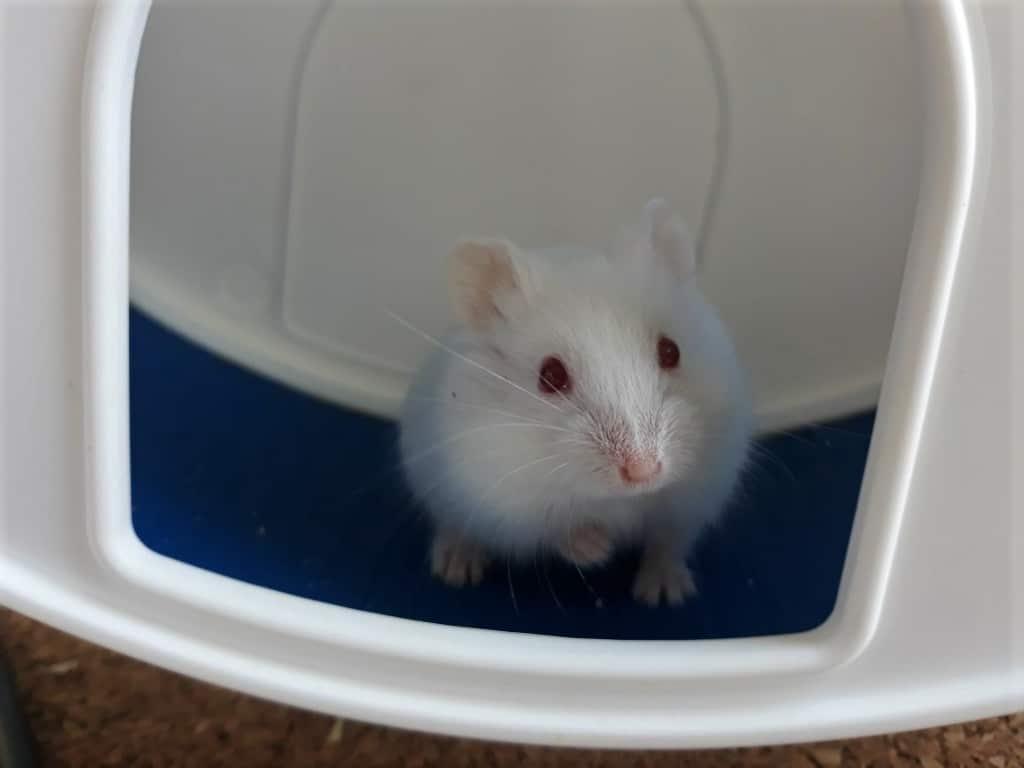 Hamsterhilfe Südwest Satomi