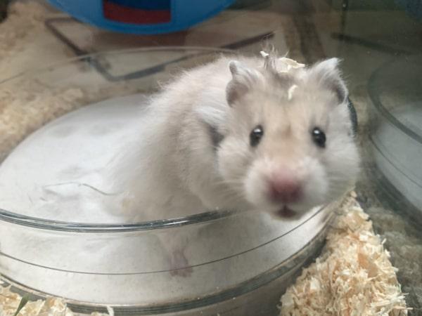 Hamsterhilfe Südwest Pippa