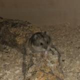 Hamsterhilfe Südwest Hybrid Zwerghamster Agouti