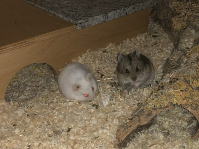 Hamsterhilfe Südwest Hybrid Zwerghamster Agouti White