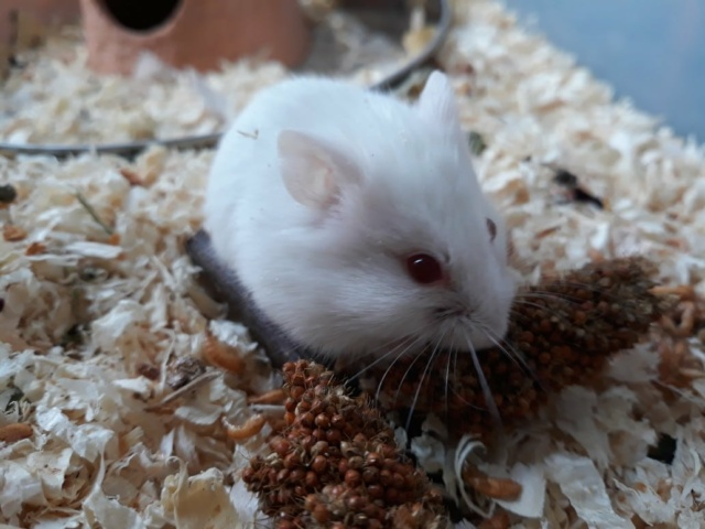 Hamsterhilfe Südwest Mr. Snow
