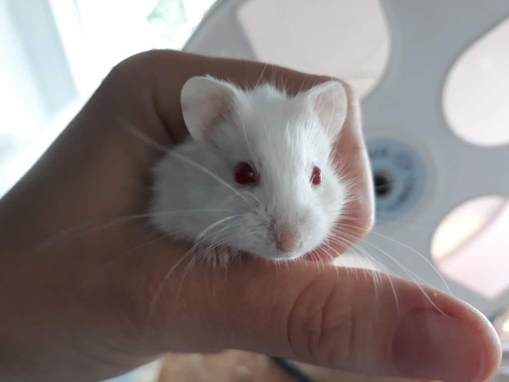 Hamsterhilfe Südwest Ms. Light