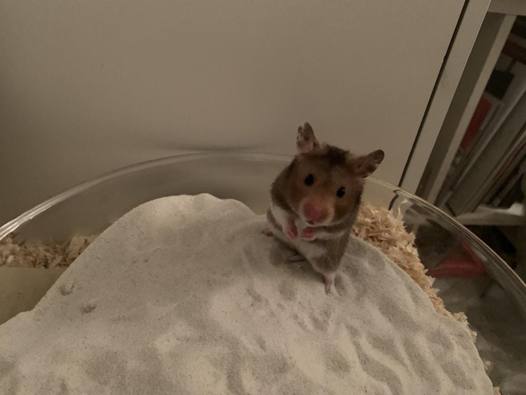 Hamsterhilfe Südwest Gustavo
