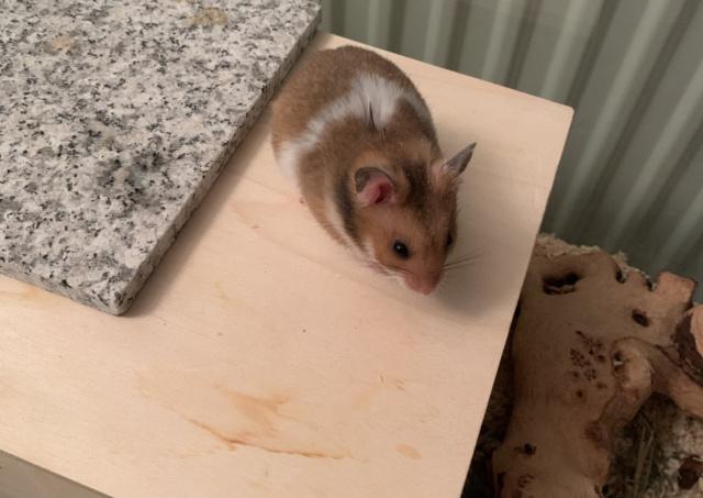 Hamsterhilfe Südwest Giovanni