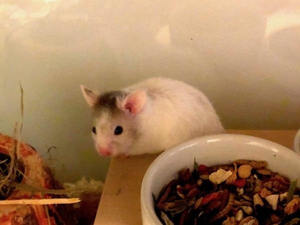Hamsterhilfe Südwest, Gizmo