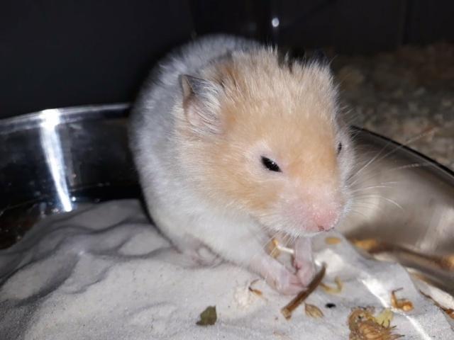 Hamsterhilfe Südwest Goldhamster