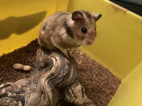 Hamsterhilfe Südwest Raffi