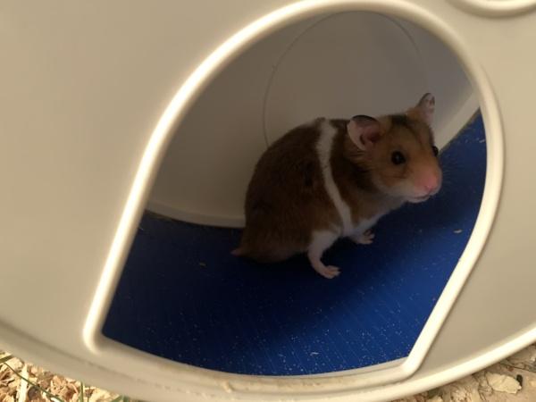 Hamsterhilfe Südwest Giuseppe