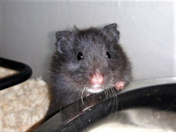 Hamsterhilfe Südest Megumi