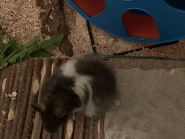 Hamsterhilfe Südwest Nobu
