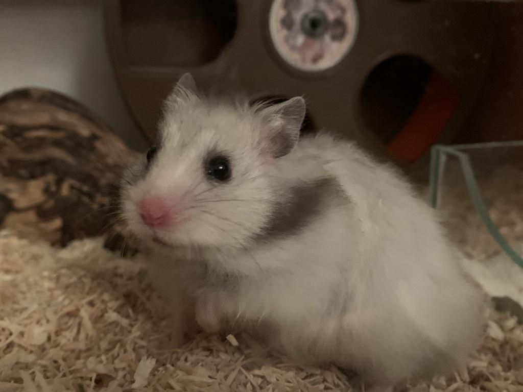 Hamsterhilfe Südwest Nanuk