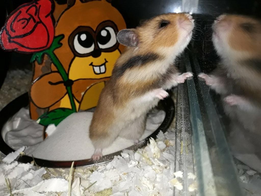 Hamsterhilfe Südwest Fukaeri