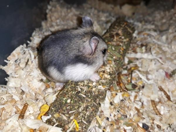 Hamsterhilfe Südwest Kagami