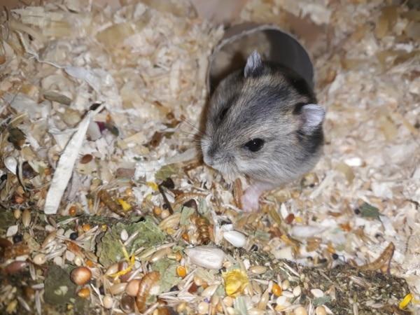 Hamsterhilfe Südwest Kagura