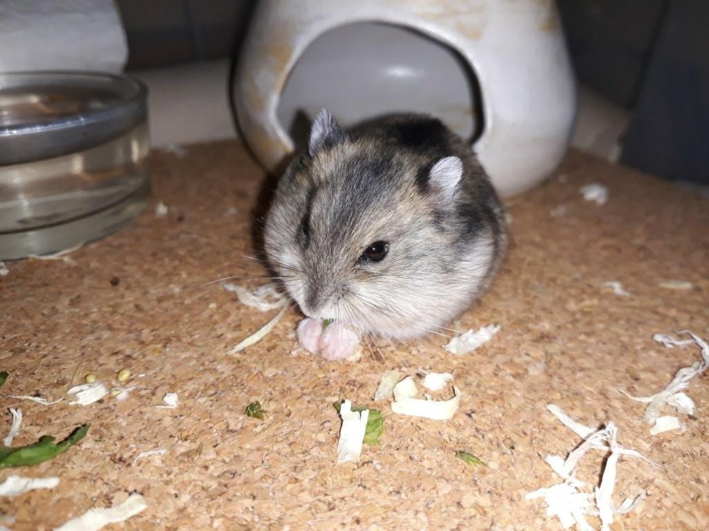 Hamsterhilfe Südwest Kaguya