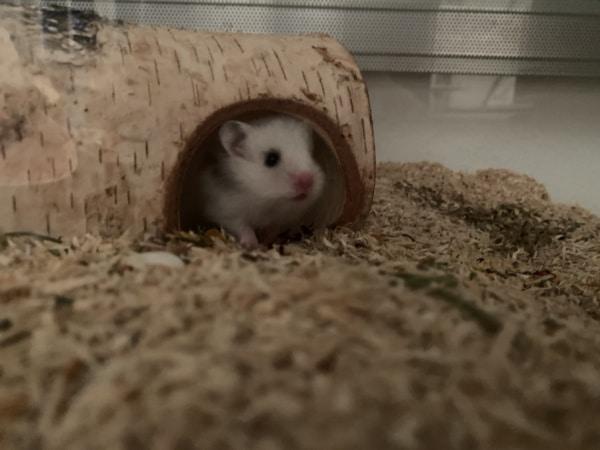 Hamsterhilfe Südwest Earl Grey