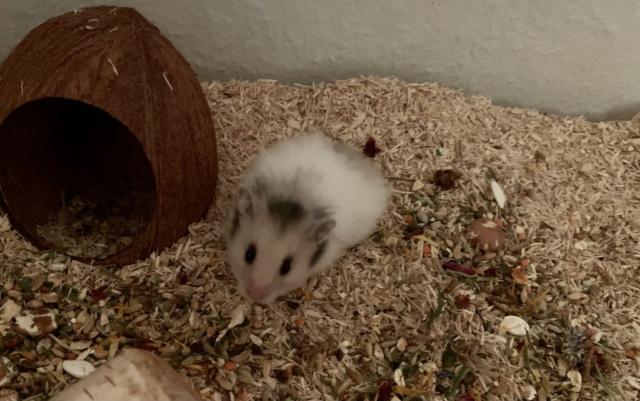 Hamsterhilfe Südwest Elvin