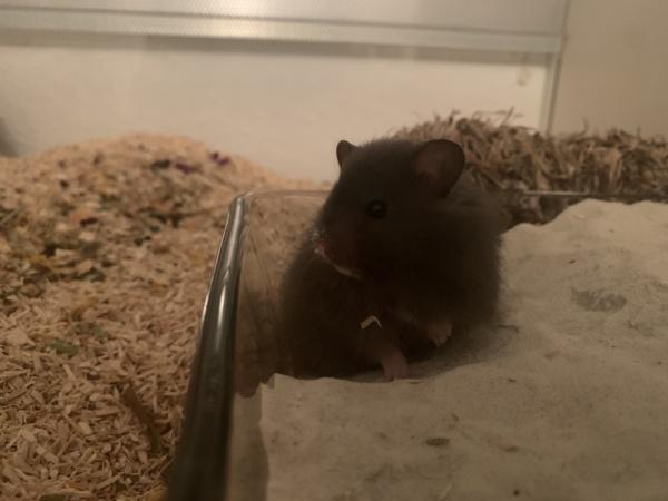 Hamsterhilfe Südwest Elton